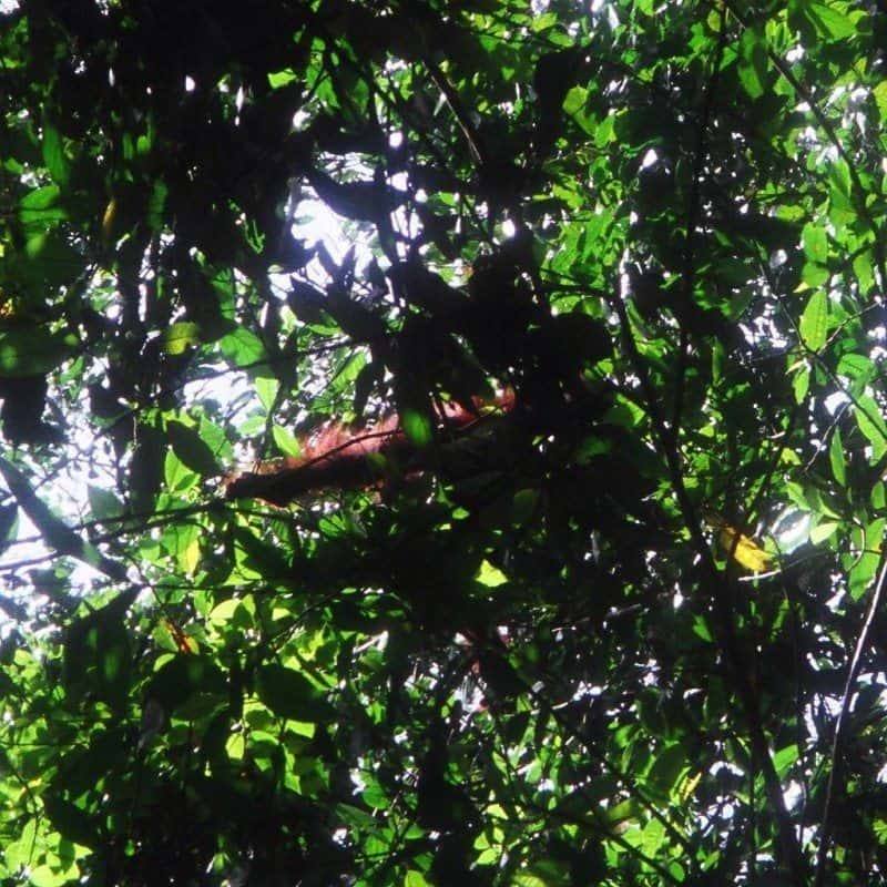Orang-oetan Borneo