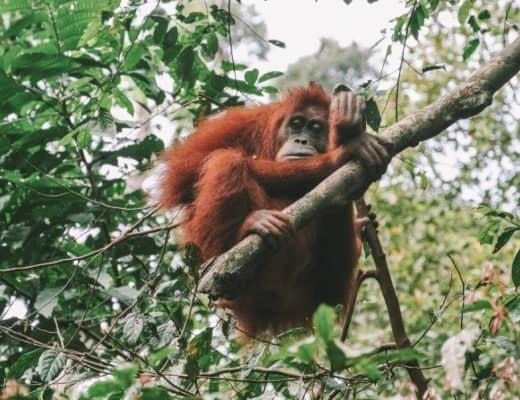 orang-oetans maleisie