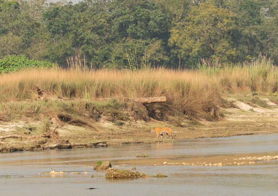 tijger chitwan national park