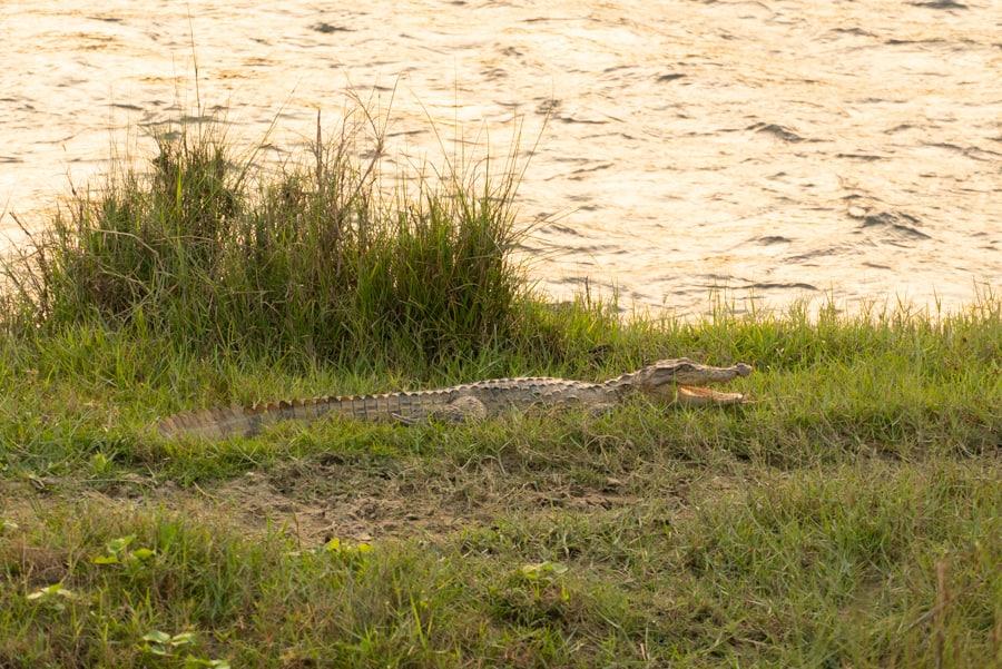 krokodil chitwan